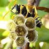 European paper wasp. Avispa papelera