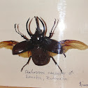 Atlas Beetle (preserved)