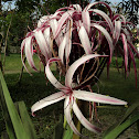 Giant Spider Lily