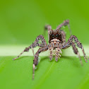 Fringed jumping spider