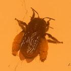 Epicharis bee