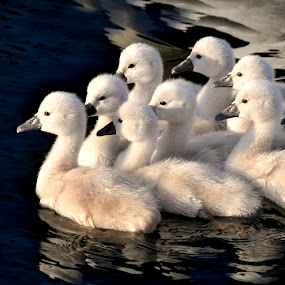 Cygnet Formation by Betty Arnold - Animals Birds ( swans, animals, nature, mute swans, cygnets, birds, , Spring, springtime, outdoors )