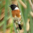 African Stonechat