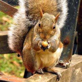 Squirrel by Patti Hobbs - Animals Other Mammals ( other mannels squirrel animals peanut )