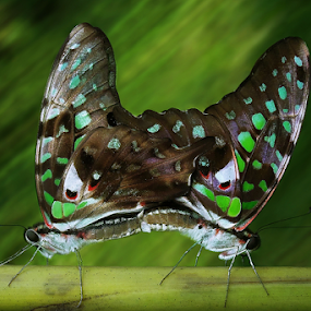 Graphium Agamemnon Mating by Ardika Septyawan - Animals Insects & Spiders ( butterfly, macro, mating, close up, green spotted )