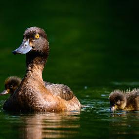 by Martin Tyson - Animals Birds ( duck, ducks, baby )