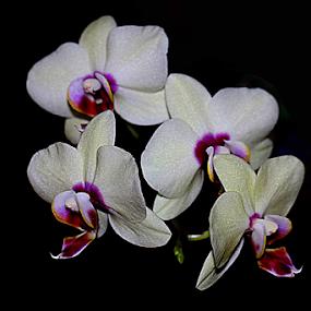 Sparkling Splendor by Ruby Stephens - Flowers Single Flower ( black background, velvety, spray, sparkly, orchid, purple, white, purple center, exotic flowers, phalaenopsis, tropical flowers )