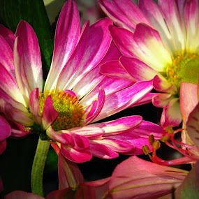 Varying shades of Pink by Patti Hobbs - Flowers Flower Arangements