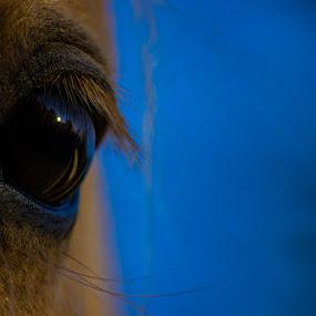 Trust by Gerard Toney - Animals Horses ( chestnut, eyelashes, horse, eyeball, eyes, eye,  )