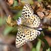 Mormon Fritillary butterfly