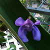 Snail plant