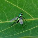 Green Long-legged Fly