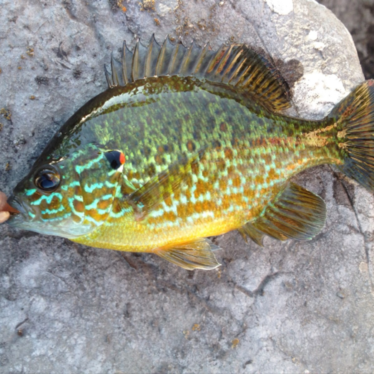 Pumpkin Fish