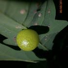 Wasp gall?