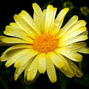by Nena Dankić - Flowers Single Flower