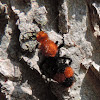 Cow Killer or Red Velvet Ant (female)