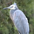 White-fronted heron