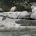 Pond Heron & Marsh crocodile