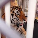 Bengal tiger, mike