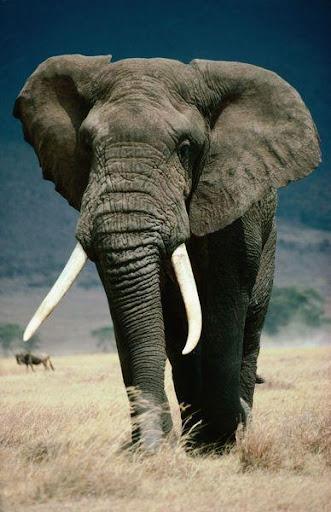 ช้างวอลเปเปอร์