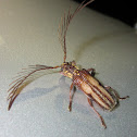 Feather horned Longicorn (♂)