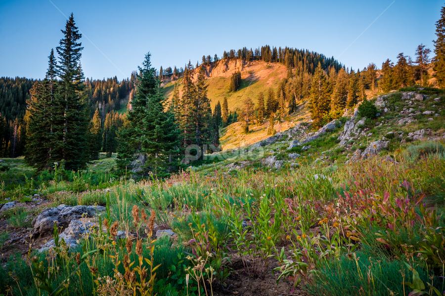 by Daniel Olsen - Landscapes Prairies, Meadows & Fields ( wildflowers, mountain, meadow, tony grove, sunrise )