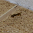 Small Crane-fly