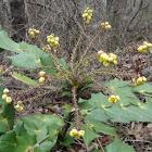 Leatherleaf Mahonia (in bloom)
