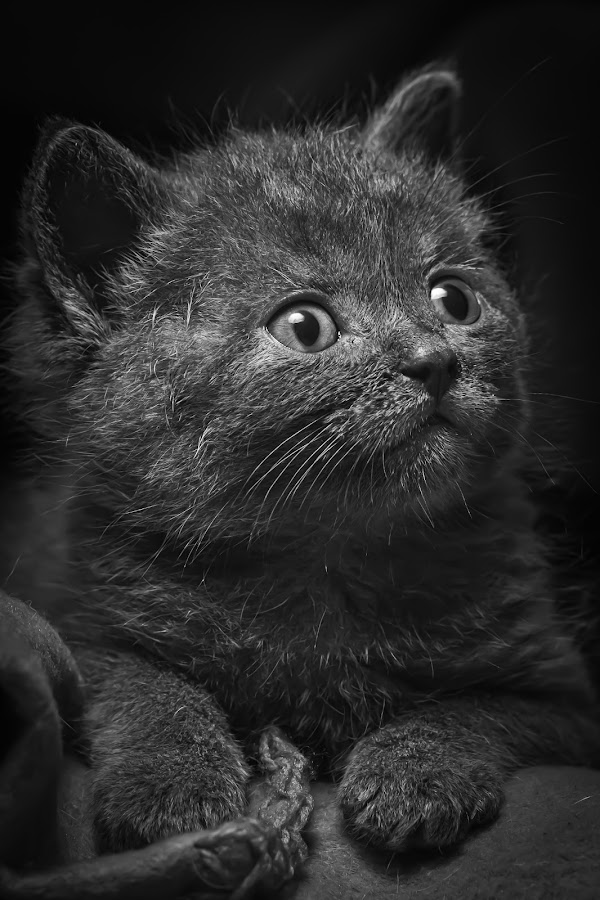 by Fabb Winter - Animals - Cats Kittens ( cats, kitten, cat, b&w, cute, eyes, , black and white, animal )