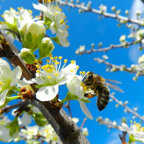 Bee on flowering trees by Ovidiu Porohniuc - Flowers Tree Blossoms ( bee, flowering trees, insects, spring,  )