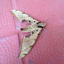 Streaked Sphinx Moth