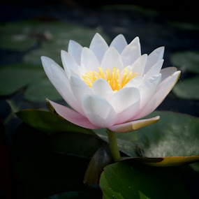 water lilly by Dawnadine Yazzie-Harvey - Flowers Flower Gardens ( water, nature, beauty, lilly, flower )