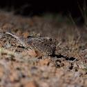 Common Indian Nightjar