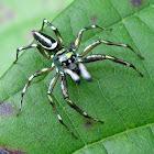 Shiny Jumping Spider