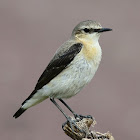 Wheatear : Northern Wheatear