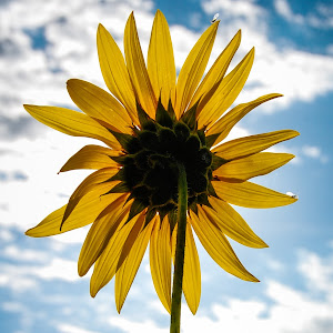 Sun...flower.jpg