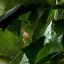 The Common Tailorbird