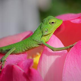 Little Chameleon on a Lotus flower by Assaifi Fajarmass - Animals Reptiles ( pink flower, macro photography, green, chameleon, lotus flower )