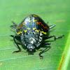 Zig-Zag beetle or Pleasing fungus beetle