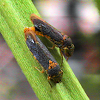 Leafhopper - Broad-headed Sharpshooter