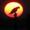 Osprey at sunrise