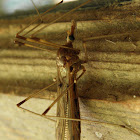 giant cranefly
