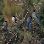 Iberian Azure-winged Magpie, Rabilargo