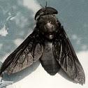 Black Horse Fly