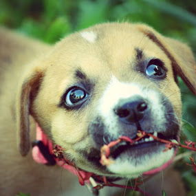 Puppy Power by Christy Julian - Animals - Dogs Puppies ( boxer, puppy, chewing, dog, animal )