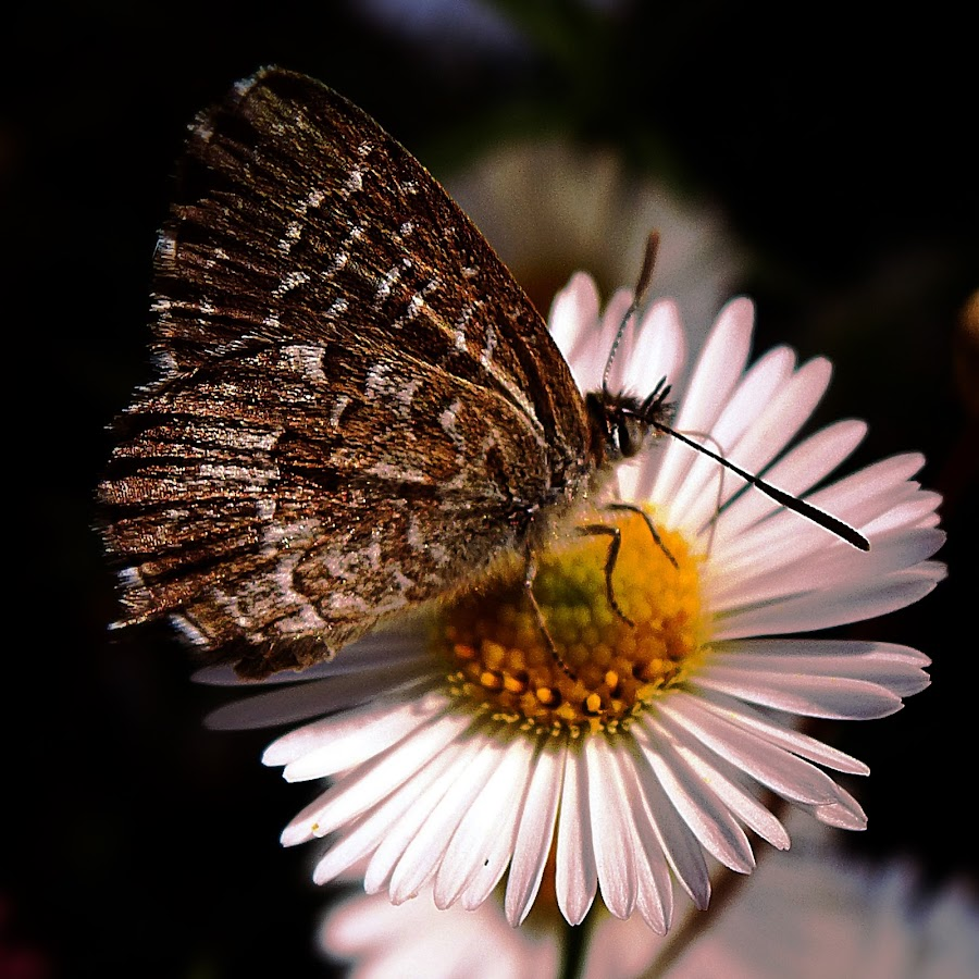 Brawn Butterfly by Vanalapha Chuasritrakul - Animals Insects & Spiders (  )