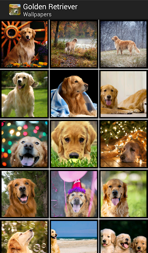 Golden Retrievers - Wallpapers