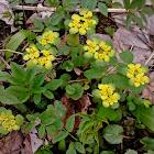 Golden Saxifrage/Premenjalnolistni vraničnik