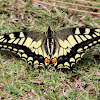 Old World Swallowtail or common yellow swallowtail
