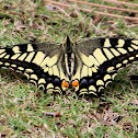 Old World Swallowtail or common yellow swallowtail